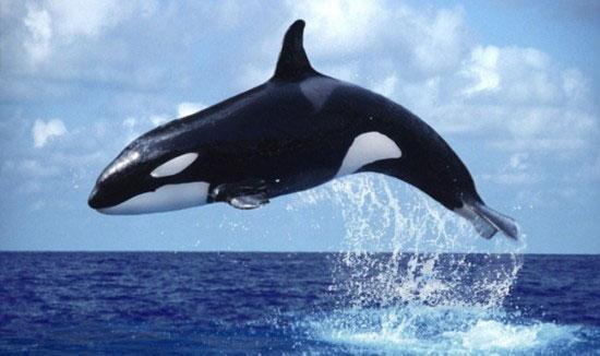 蓝鲸画图片大全大图_虎鲸图片大全 _排行榜大全