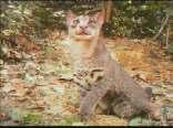 神秘金猫首次走进人类视野