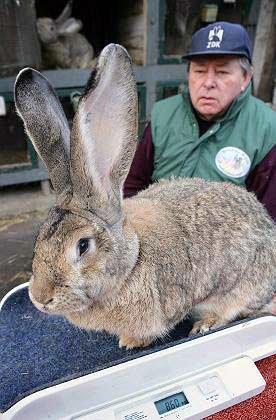 长尾巴的兔子_兔子能长到多大?巨型兔子的逆袭!(组图)_宠物星球_看看新闻网