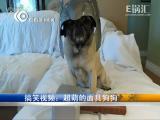 搞笑视频:超萌的面具狗狗