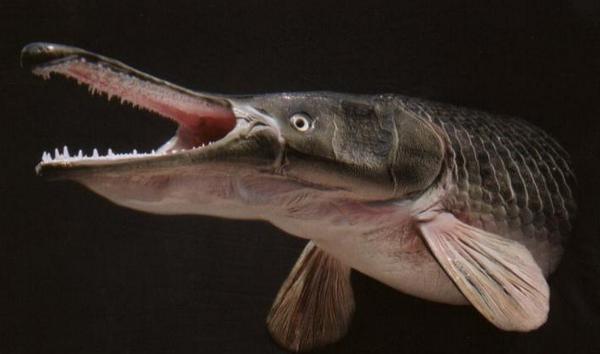 北美毒鱼雀鳝混进长江 入侵鱼类逾23种堪称全球十大最凶猛淡水鱼之一