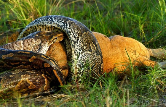 蟒蛇生吞鳄鱼图片