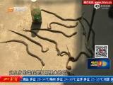 视频:广东村民买蛇泡酒 150条眼镜蛇溜巷内乱