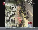 黑天鹅喂食锦鲤