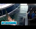 瑞典猛男钓1200磅鲨鱼
