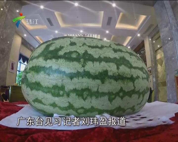 佛山:170斤重的大西瓜  你见过没?