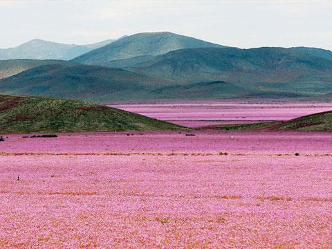 世界最干燥沙漠遇大雨花开遍地