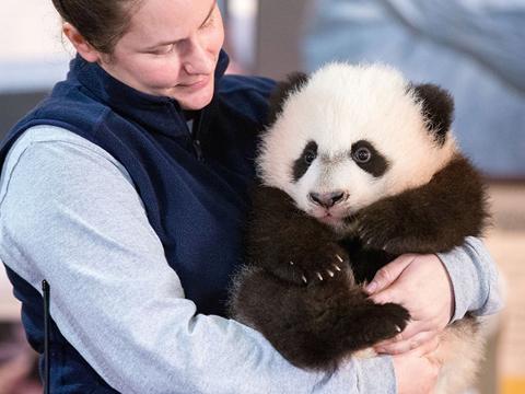 """彭麻麻给取名的熊猫""""贝贝""""华盛顿首秀"""