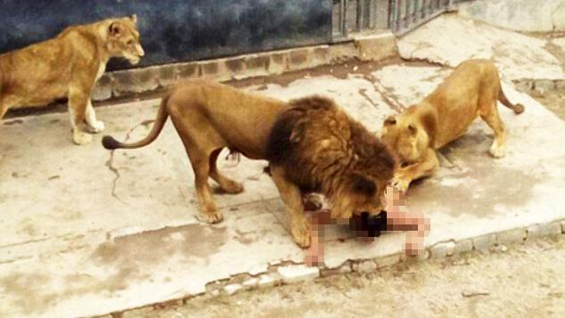 男子跳进狮子笼自杀被救 狮子被击毙