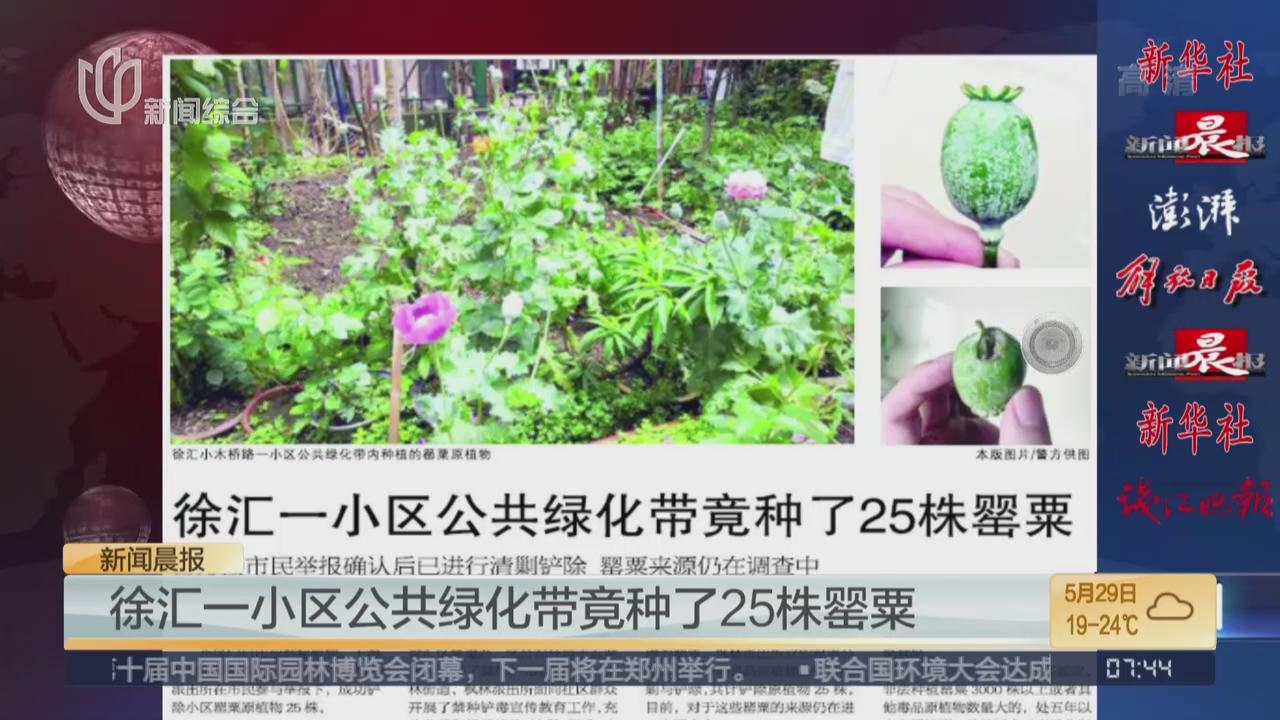 徐汇一小区公共绿化带竟种25株罂粟