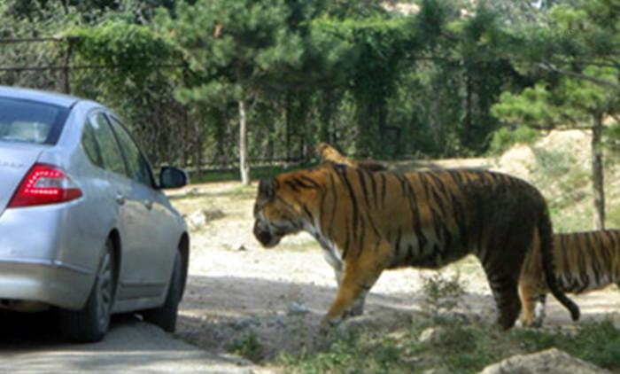 视频曝光|北京动物园老虎袭击游客 女子中途下车遭老虎拖走