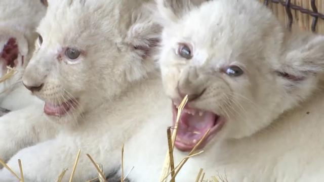 霸气的白狮咆哮图片头像