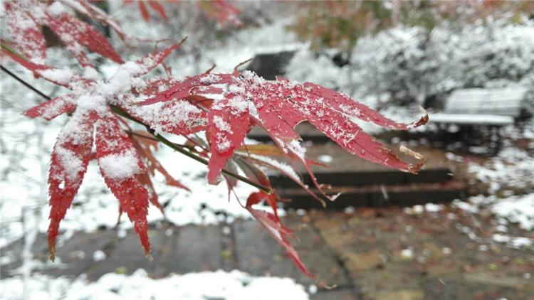十年一遇!初雪遇上栖霞山红叶