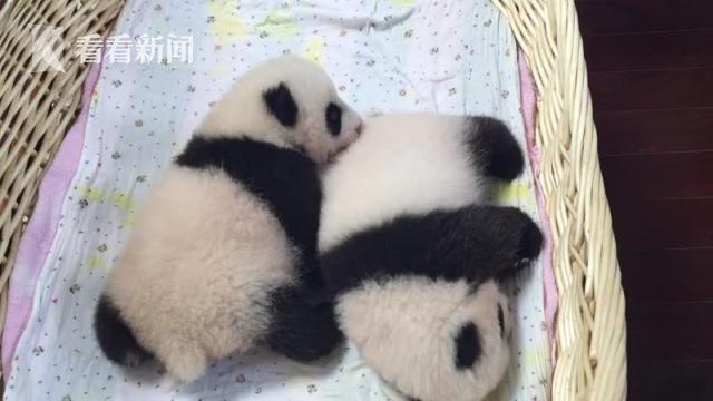 熊猫可爱卖萌照片