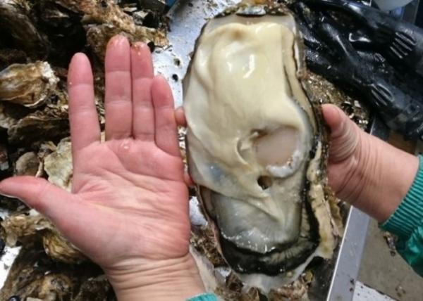 日本福岛惊现巨型生蚝 网友:太吓人是不是辐射变异结果?