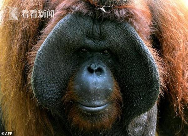 濒危的婆罗洲猩猩