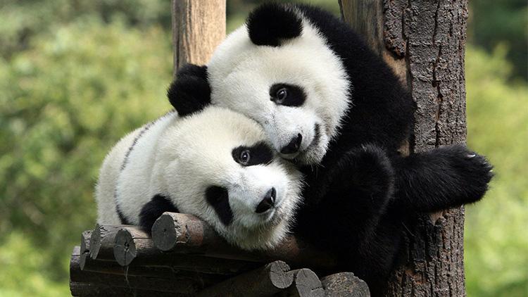 蠢萌熊猫抱大腿