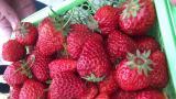 周末结伴采草莓 青浦白鹤草莓节开幕 7千亩草莓集中上市