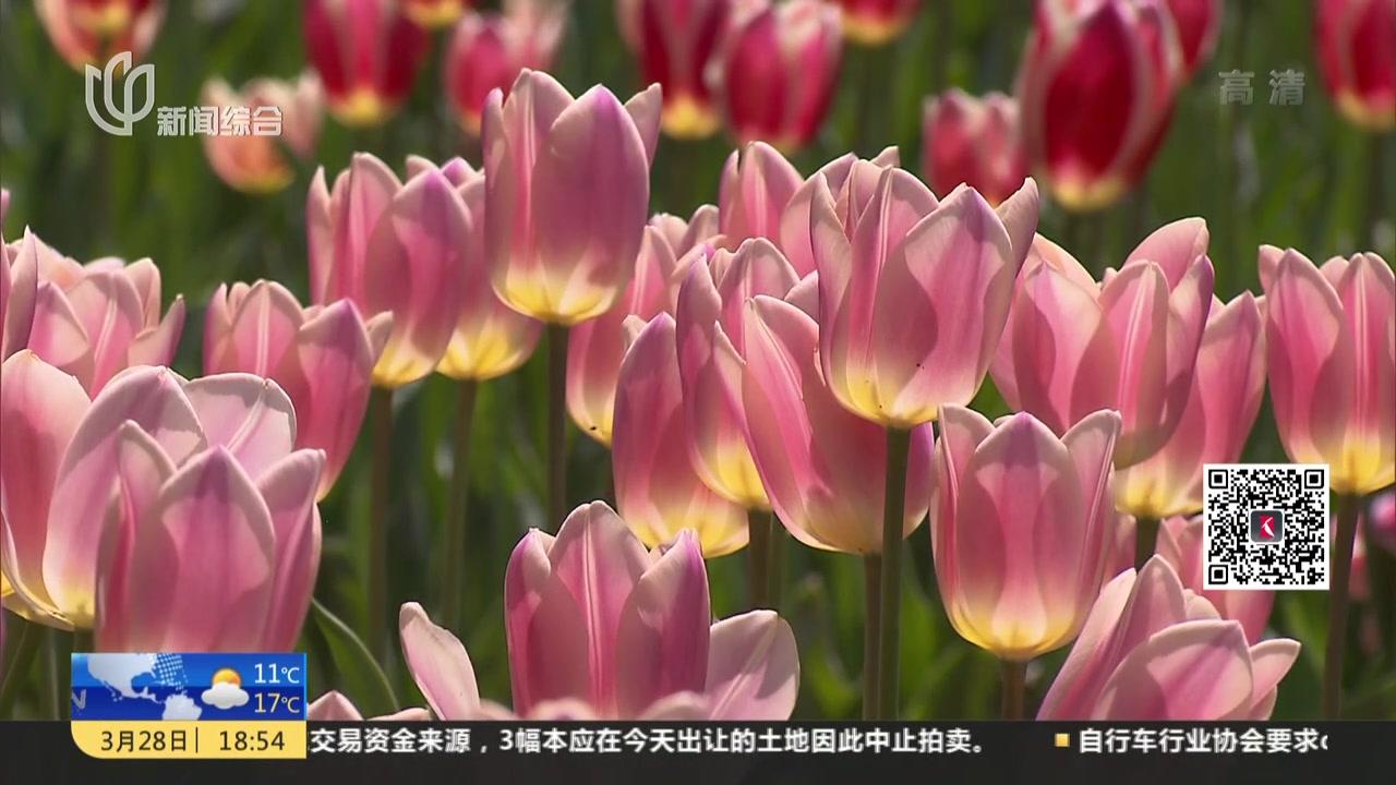 鲜花港:300万株郁金香怒放  清明迎最佳赏花期