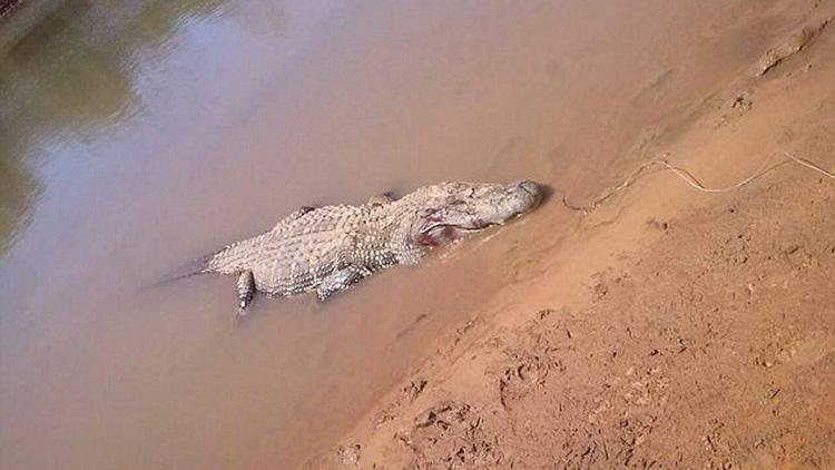 巴西男子河边露营失踪 次日在鳄鱼肚里找到人骨