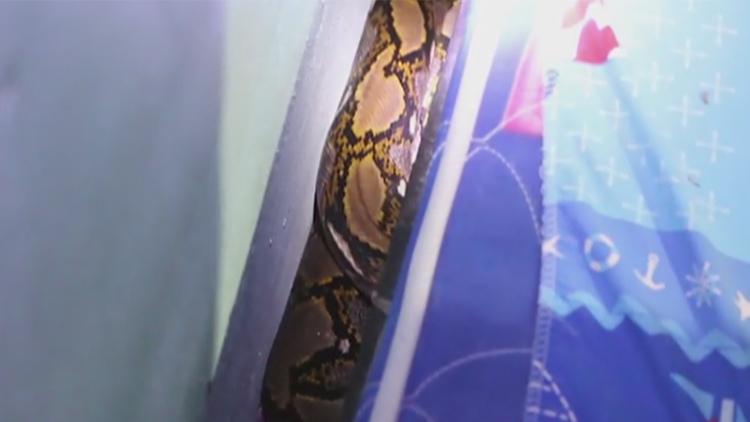 小猫离奇死亡 女主人进屋发现3米大蛇藏身床下