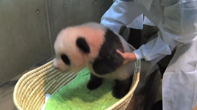 """日本熊猫宝宝取名""""香香"""" 爱撒娇也爱举高高"""