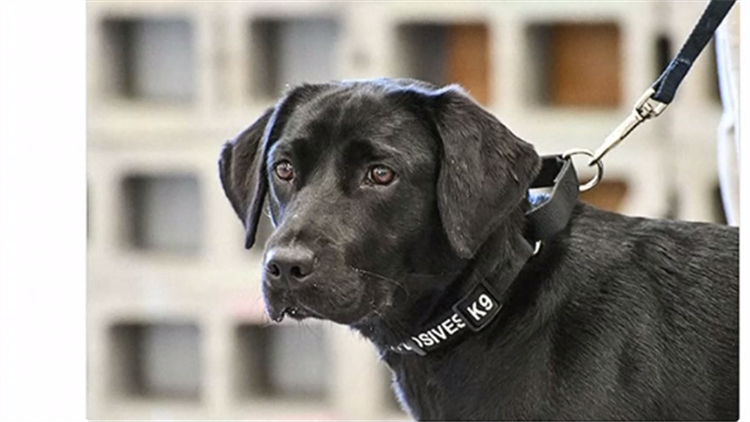 """嗅1.9万种爆炸物太累 中情局警犬对工作不感兴趣被""""退学"""""""