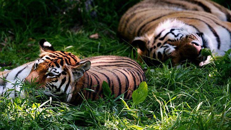 探访东北虎豹国家公园 追寻东北虎的足迹图片
