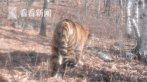 2012年4月,吉林省汪清境内第一次拍摄到了野生东北虎的图像