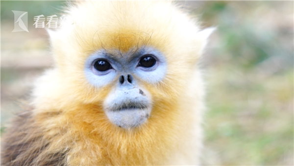 神农架的金丝猴