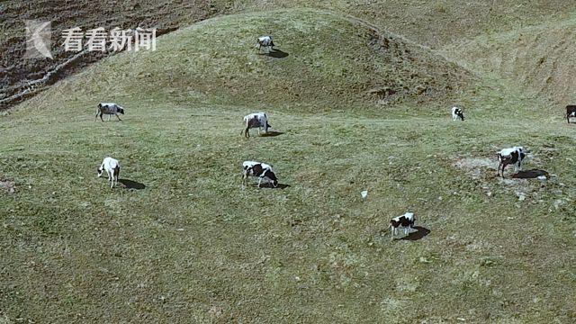南山牧场奶牛