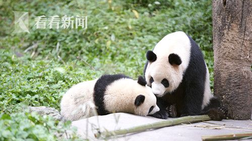 野化基地,一对正在接受培训的大熊猫母女