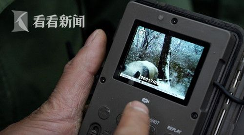 红外相机拍摄到的野生大熊猫画面.jpg