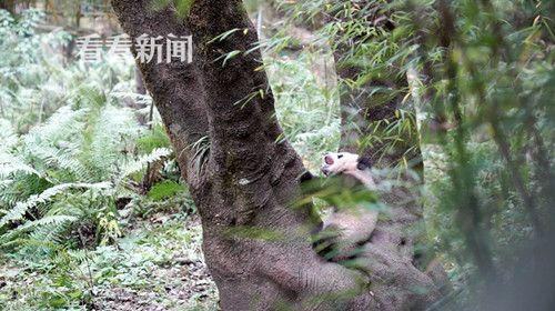 最近龙欣仔在学习爬树,虽然还一次都没有成功过