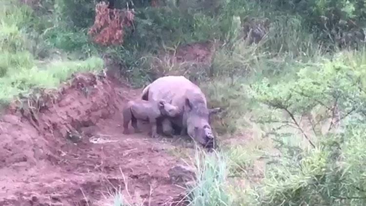 犀牛妈妈被割角杀害 宝宝在旁哭泣试图唤醒它