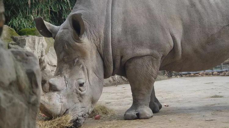上海动物园饲养展出2头珍稀南方白犀牛