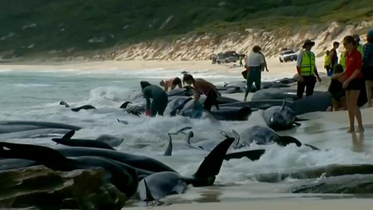超过150头鲸鱼搁浅澳海滩 仅15头仍存活待救