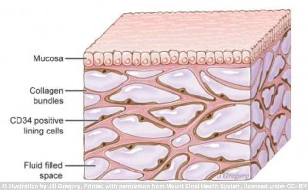 这一通道网存在于皮肤表层之下(如图),联通消化系统、肺部和泌尿系统,周围被动脉、静脉和肌肉间的筋膜包裹。