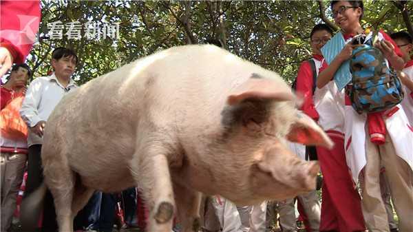 猪坚强4.jpg