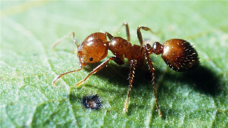 被这种蚂蚁咬了一定要及时就医 一男子因此丧命