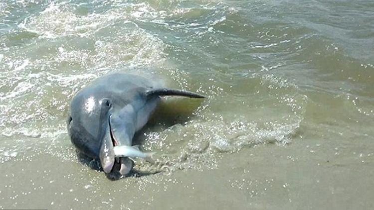 贪吃海豚为吃鱼 无视搁浅风险沙滩上捕食