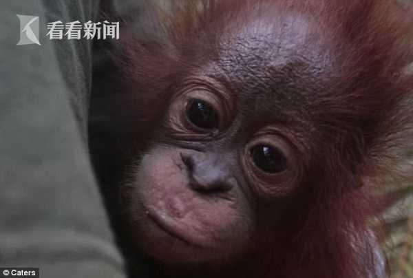 视频 母亲遭猎杀小猩猩独自哭泣 获救后眼神令人心疼