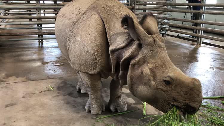 尼泊尔首次向我国赠送亚洲独角犀牛