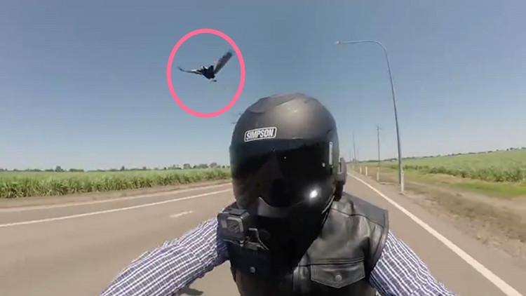 两喜鹊竞速驱赶摩托车手 一啄一个准斗狠80秒