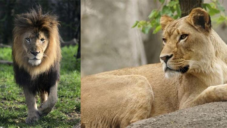 10岁公狮遭八年