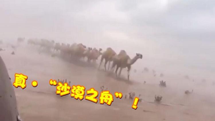 """罕见!沙特暴雨沙漠变""""沙海"""" 成群骆驼趟水过"""