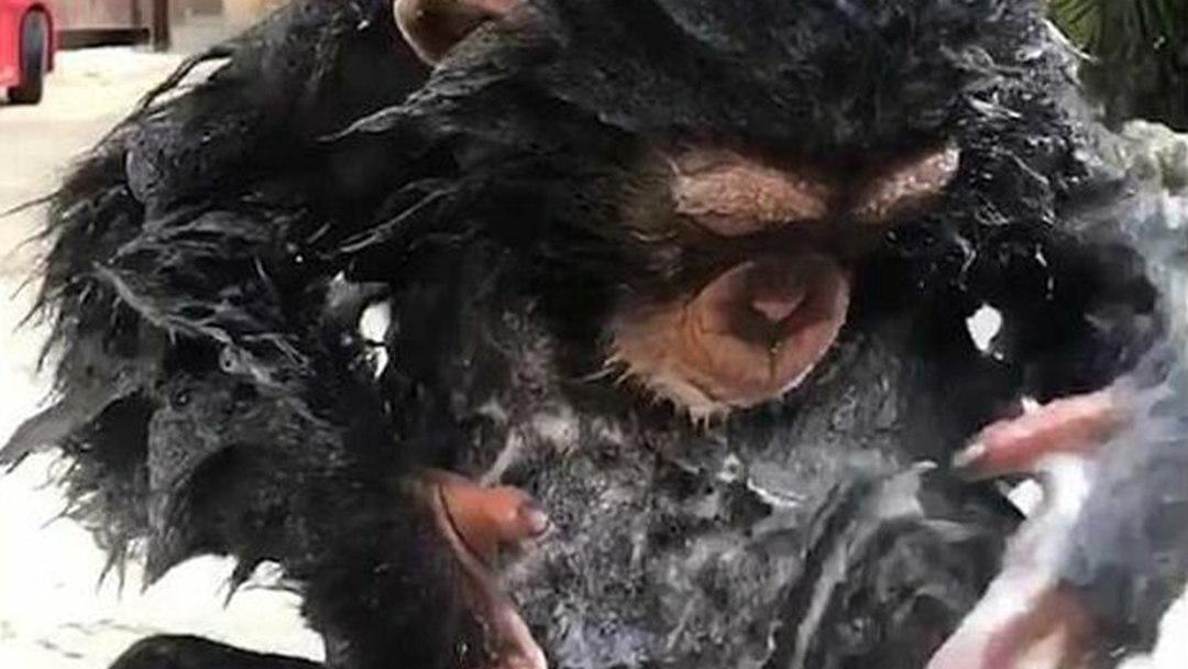 2岁黑猩猩自抹沐浴露娴熟搓澡 网友:这货已成精