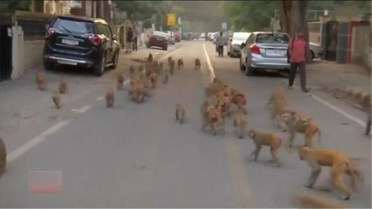 印度新德里猴子称大王 5000只猴子占领大街小巷