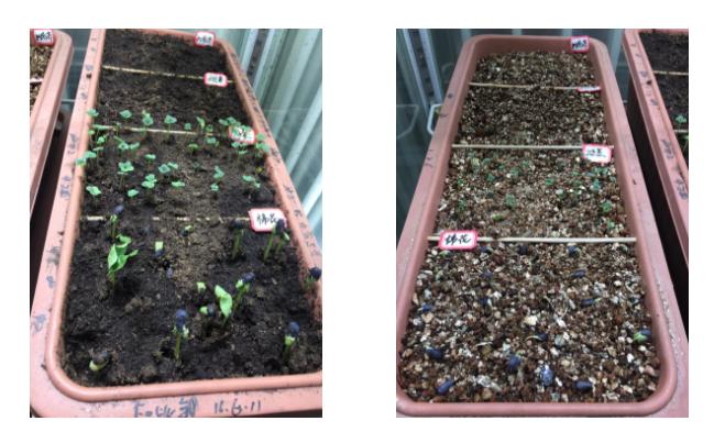地面开放空间,(左)2019年01月07日,第4天,营养土,注水后81h;(右)2019年01月07日,第4天,蛭石,注水后81h