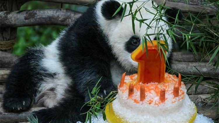 马来西亚为熊猫宝宝庆一岁生日 饲养员做冰蛋糕